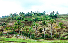 Rice terraces - Jatiluwih - Bali (marcreynier) Tags: voyage travel colour indonesia landscape asia market roadtrip paysage indonesie