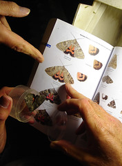 Red Underwing (Catocala nupta), by Peter Alfrey