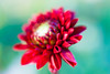 Dahlia (PixPep) Tags: dahlia dof beautifullight beautifulflowers beautifulcolours beautifulbokeh