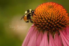bee_coneflower (Stacy Pederson Photography) Tags: macro bee flowermacro beemacro stacypedersonphotography
