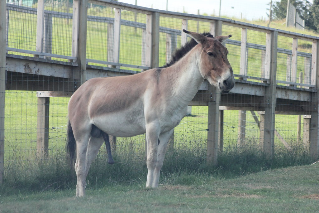 Male horse erection - Maple suyrup diet