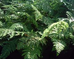 Polystichum setiferum 'Dahlem'