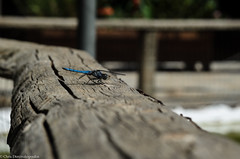 Landed on wood (s1nano) Tags: wood blue nature closeup bug dragonfly greece landed odonata tamron90mmspmacrof25