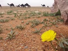 Desert flower 2 (albjidi) Tags: flower nature rose canon nice nikon flickr desert uae qatar q8 ksa natgeo qtr الامارات الكويت قطر السعودية الرياض طبيعة صحراء هدوء نياق galaxys5