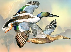 2014 Federal Duck Stamp Art Contest Entry 108 (USFWS Headquarters) Tags: art duck conservation stamp wetlands waterfowl