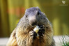 Marmot, French Alps - FRANCE (Yannick-R) Tags: animal eat marmot yannick rivoire frenchalpsfrance