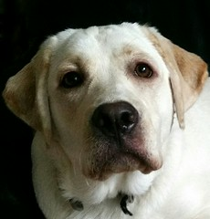 Gracie at almost a year old (walneylad) Tags: summer dog pet cute puppy gracie lab labrador canine labradorretriever