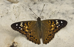 9272BBGa (preacher43) Tags: macro nature lady butterfly river mississippi garden painted butterflies iowa american bellevue