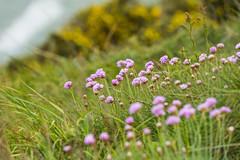 Howth flowers (Tambako the Jaguar) Tags: flowers ireland sea howth dublin grass nikon purple vegetation steep d4