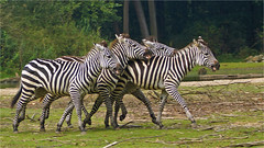 Playing zebras (Foto Martien) Tags: africa holland netherlands dutch tanzania zoo sudan arnhem nederland rwanda safari burgers afrika congo uganda geotag kenia zambia veluwe somalia burgerszoo safaripark wetland a77 gelderland eastafrica dierenpark 70300 geotagging grantzebra grantszebra equusburchelli plainszebra burchellszebra commonzebra equusquagga equusquaggaboehmi burgersdierenpark openwoodland equusburchelliboehmi bhmzebra southethiopia steppezebra gewonezebra burgerssafari martienuiterweerd martienarnhem treelessgrassland fotomartien slta77v sonyalpha77 geotaggedwithgps tamron70300mmf456sp