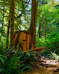 Enchanted Forest (Jeff M Photography) Tags: park trees light usa color rain forest landscape outdoors photography washington moss nikon pacific northwest scene national stump olympic ferns nikkor peninsula 18200 enchanted quinault d7100