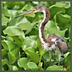 Opportunist! (WanaM3) Tags: heron nature weeds texas wildlife sony ngc bayou pasadena canoeing paddling juvenile tricoloredheron a57 waterhyacinth clearlakecity armandbayou avianexcellence wanam3 sonya57