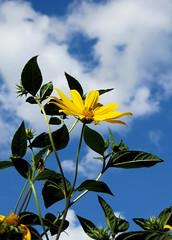 csicsóka / sunchoke (debreczeniemoke) Tags: autumn plant flower yellow asteraceae virág medicinalplant jerusalemartichoke topinambour sunchoke növény sárga ősz topinambur helianthustuberosus sunroot gyógynövény csicsóka earthapple canonpowershotsx20is soleilvivace őszirózsafélék rapatedesca carciofodigerusalemme truffeducanada artichautdejérusalem poiredeterre picioică morcovporcesc