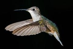 Hummingbird (joel8x) Tags: usa bird sc nature backyard fuji hummingbird wildlife flash sb600 f90 fujifilm speedlight lowcountry 55200mm xt1