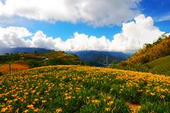 Yellow wave (Ted Tsang) Tags: travel sky plants mountain flower clouds landscape taiwan olympus daylily hualien   em1  hemerocallisfulva    liushidan sixtystone 1240mmf28