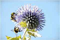 Globe Thistle and Bumblebees (tanglemay) Tags: sunrays5