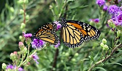 Two monarchs (ali eminov) Tags: animals insects moths butterflies monarchbutterflies twomonarchs danausplexippus