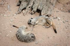 Meerkat chillin (A. Jones Photography) Tags: jones meerkat andrewjones
