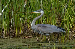 Handsome One (Brenda J Hartley-Foubert) Tags: ontario heron greatblueheron
