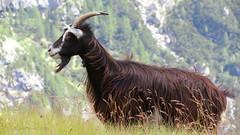 la capra delle dolomiti - goat of the dolomites (Roberta Doro S.) Tags: mountain mountains verde animal animals goat natura montagna animali montone dolomites dolomiti dolomite capra capretta