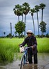 Wading Through the Flood (Trent's Pics) Tags: man green water bicycle palms cambodia flood palmtrees fields farmer ricefields fieldworker kampongchnnang