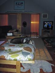 Jo Jo Rules (Crick3) Tags: rescue dog home sheep shetland shelty
