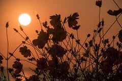 DSC_2025.jpg (d3_plus) Tags: flowers sea sky japan scenery bloom 日本 花 shizuoka 海 空 風景 izu j4 景色 静岡 伊豆 東伊豆 minamiizu yellowcosmos キバナコスモス cosmossulphureus 静岡県 南伊豆 akao nikon1 赤尾 higashiizu 1nikkorvr10100mmf456 nikon1j4