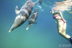 WildQuest Dolphin Retreat - 21/2014 (Wildquest Bimini) Tags: wild swim underwater dolphin atlantic snorkeling dolphins spotted bahamas bimini bottlenose dolphinquest wildquest dolphinunderwater swimwithdolphin lagoon410 atmoji