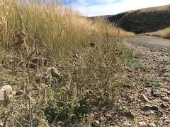Ambrosia acanthicarpa (Matt Lavin) Tags: montana habit native annual habitat herb asteraceae inflorescence heliantheae beartrapcanyon monoecious disturbedsite drysite ambrosiaacanthicarpa flatspineburragweed