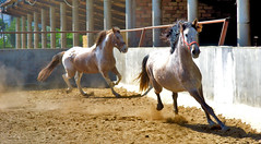 Caballos (fls1969) Tags: barcelona summer horses horse sun sol race de caballo caballos mediterranean mediterraneo weekend bcn nuria via riding alberto cap finepix verano otoño fujifilm catalunya horseshoe fin zaino rider semana tame cataluña carrera bru autunm estiu tardor s800 hípica herradura 2014 cursa doma setmana vallès cascos mediterrani ferradura brego caball caballs s5800 dervi legaz viaflickrqcom wwwviaflickrcom