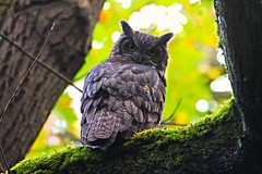 Great Horned Owl (Bubo virginianus) (Sweet Frickin' Tugboat Photography) Tags: park canada nature vancouver island photography hiking hill great birding columbia victoria adventure owl british beacon bubo horned virginianus