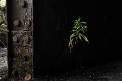 (We have peaches) Tags: life flowers plant nature grass leaves fleurs plante ruins n sigma naturallight rage vert urbanexploration 70200 resistance feuille ruines urbex 70200f28 pourpre d700 mancinellithomas