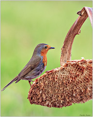 Pettirosso (fausto.deseri) Tags: erithacusrubecula robin pettirosso wildlife nature birds wild parcodellapiana pentaxk3 pentaxfa300mmf45edif sigmatcaf14x faustodeseri
