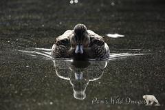 Back Lit (PamsWildImages) Tags: duck mallard bird swimming nature wildlife canada