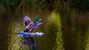 Happy Landing (Steve-h) Tags: bushypark birds duck drake hybridmallard action movement landing splash backlight contrajour contraluz nature natura colour colours green brown chestnut blue yellow orange white black digital exposure canon camera lens ef eos dublin ireland europe spring april 2016 steveh