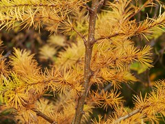 Larch (Larix sp.), Meall nan Saighdear (Niall Corbet) Tags: scotland perthshire callander meallnansaighdear autumn forest woodland larch larix