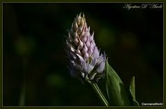 Fiori primaverili - Aprile-2017 (agostinodascoli) Tags: fiori nikon nikkor cianciana sicilia macro agostinodascoli texture nikonclubit