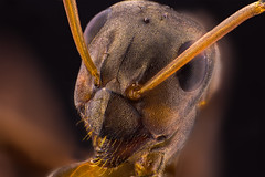 the ant. (Little Boy 09) Tags: canon 60d tamron 1750 revered macro macrodreams