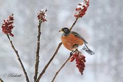 merle d'amérique / american robin (ricketdi) Tags: bird merledamérique americanrobin turdusmigratorius coth5 ngc npc