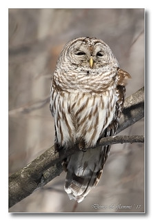 103A0359-DL   Chouette rayée / Barred Owl.