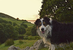 A missed sunset. (Mike & Indy) Tags: laddie dog dogs bordercollie llanfairfechan northwales threestreams sunset snowdonia explore