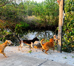,, Sabre-Rattling ,, (Jon in Thailand) Tags: monkey monkeys pole dog dogs k9 k9s mama legs rocky primates primate electricpole road 3amigos sabrerattling fangs action jungle swamp nikon d300 nikkor 175528 littledoglaughedstories