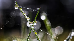 Meadow droplets (Tommy Høyland) Tags: grass bokeh spring close up nature water meadow tiny web waterdrops garden morning springtime drops macro small details spiderweb dof fuji droplet early nobody 60mm sparkle green closeup earlymorning xt2 manuallense dewdrops laowa