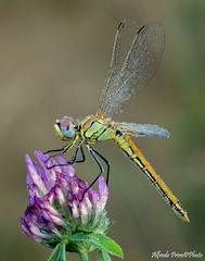 Sympetrum fonscolombi (alfvet) Tags: macro sigma150 veterinarifotografi dragonfly libellule insetti odonata natura ngc npc