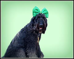 """""""It's the Little Things, like celebrating holidays and  having my picture on Flickr TWICE in one day...."""" By Benni Girl (Bennilover) Tags: stpatricksday benni photos camera headbands bows adornments posing lessons mom don fun littlethings cute me labradoodle irish dog"""
