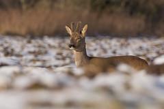Sleepy Roe Deer buck (Wouter's Wildlife Photography) Tags: roedeer deer buck animal mammal nature wildlife sun wintercoat velvet antler snow billund rådyr ree male