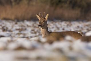 Sleepy Roe Deer buck