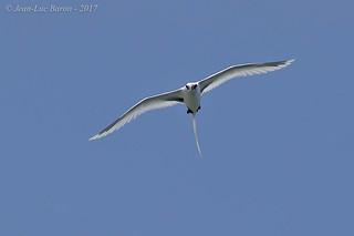 White-tailed Tropicbird (Phaeton lepturus)