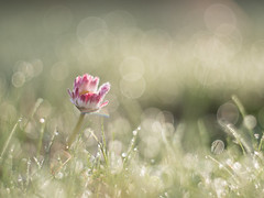 Morning fresh (A_Peach) Tags: gx8 pancolar spring availablelight flower nature plant plants mft m43 lumix panasonic microfourthird micro43 apeach anjapietsch vintagelens manualfocus adaptedlens dof bokeh panasoniclumixgx8 czjpancolar50mmf18 daisy dew morning