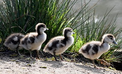 Form a line! (pstone646) Tags: goslings birds egyptiangeese nature animals young closeup wildlife waterfowl wildfowl lake ashford kent ngc